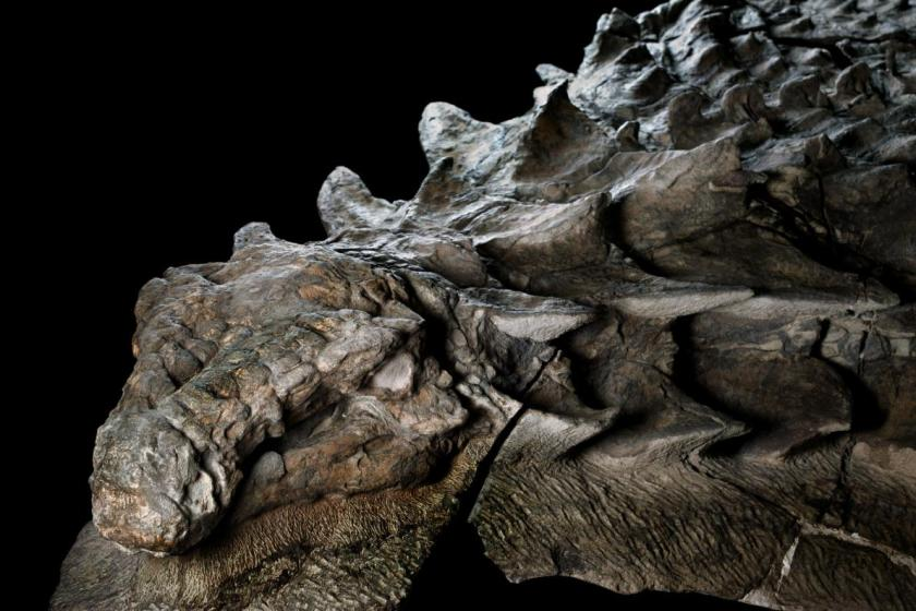 nodosaur-fossil-canadian-mine-face.adapt.1190.1